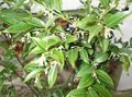 white Indoor Plants, House Flowers Christmas box, Sweet box shrub / Sarcococca Photo