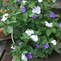 Photo Brunfelsia, Hier, Aujourd'hui, Demain- Des Arbustes la description