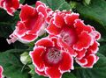 Photo Sinningia (Gloxinia) Herbaceous Plant description
