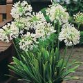 Buy online white Indoor Plants, House Flowers African blue lily herbaceous plant / Agapanthus umbellatus Photo