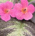 Photo Episcia Herbeux la description