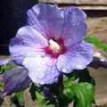 Buy online lilac Indoor Plants, House Flowers Hibiscus shrub Photo