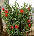 Photo Hibiscus Shrub description