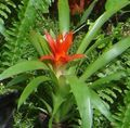 Photo Guzmania Herbaceous Plant description