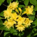 Buy online yellow Indoor Plants, House Flowers Azaleas, Pinxterbloom shrub / Rhododendron Photo