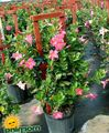 Photo Dipladenia, Mandevilla Les Plantes Ampels la description