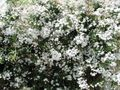 Buy online white Indoor Plants, House Flowers Jasmine liana / Jasminum Photo