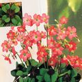 Photo Oxalis Herbaceous Plant description