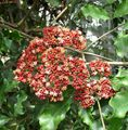 Photo Red Leea, West Indian Holly, Hawaiian Holly Shrub description