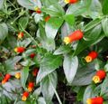 Buy online red Indoor Plants, House Flowers Candy Corn Vine, Firecracker Plant liana / Manettia Photo