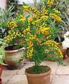 Buy online yellow Indoor Plants, House Flowers Acacia shrub Photo