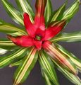 Photo Bromeliad Herbaceous Plant description