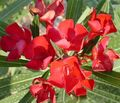 Photo Rose bay, Oleander Shrub description