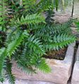 Photo Holly fern Herbaceous Plant description