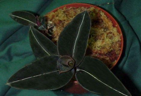 Købe online mørkegrøn Indendørs Planter Juvel Orkide / Ludisia Foto