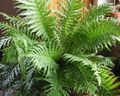 Buy online green Indoor Plants Hard Fern / Blechnum gibbum Photo