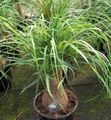 Buy online green Indoor Plants Elephants Foot, Pony Tail tree / Beaucarnea Photo
