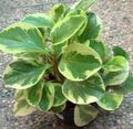 Buy online motley Radiator Plant, Watermelon Begonias, Baby Rubber Plant / Peperomia Photo