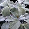Buy online silvery Indoor Plants Swedish Ivy shrub / Plectranthus Photo