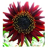 Lot de 25 Graines Potageres - Tournesol Rouge - 60cm et Plus Photo, best-seller 2018-2017 nouveau, meilleur prix EUR 1,99 examen