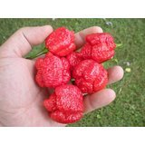 Trinidad Scorpion Moruga 20 Seeds by Pepper Gardeners Photo, bestseller 2018-2017 new, best price $6.90 review