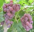 20 Red Globe Grape Seeds Photo, bestseller 2017-2016 new, best price $7.99 review