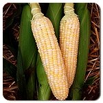 Bulk Organic Corn Seeds - Bilicious NON GMO (1/4 Lb) Photo, bestseller 2018-2017 new, best price $14.95 review