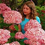 100 PCS / Bag Exotic Onion Seeds Giant Allium Seeds Multicolor Balcony Potted Flowers Semillas De Flores Photo, bestseller 2018-2017 new, best price $3.22 review