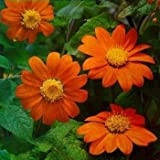 Outsidepride Mexican Sunflower Orange - 500 Seeds Photo, bestseller 2018-2017 new, best price $5.99 review