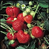Alexandria Everbearing Strawberry Fruit Plant Seed 100 Stratisfied Berry Plant Seeds Photo, bestseller 2018-2017 new, best price $5.29 review