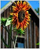 New Sunflower , SKYSCRAPER , 18 FEET TALL ! Giant Skyskraper Huge , 12 + Seeds ! Photo, bestseller 2018-2017 new, best price $1.85 review