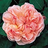 David Austin English Roses Evelyn Photo, bestseller 2018-2017 new, best price  review