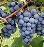15 Concord Grape Seeds - DH Seeds - Plant Marker Included - UPC0742137106223 Photo, bestseller 2018-2017 new, best price $6.09 review