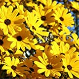 David's Garden Seeds Wildflower Native American Sunflower Swamp NS0012 (Yellow) 100 Open Pollinated Seeds Photo, bestseller 2018-2017 new, best price $8.45 review