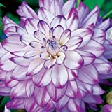 Purple and White Dinner-plate Dahlia Seeds - My Secret Gardens Photo, bestseller 2017-2016 new, best price $1.80 review