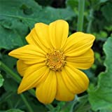 Outsidepride Mexican Sunflower Yellow - 500 Seeds Photo, bestseller 2017-2016 new, best price $5.69 review