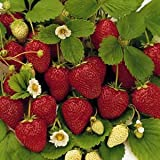 50 Stratified Ruby Red Strawberry Seeds - JDR Seeds Photo, bestseller 2018-2017 new, best price $1.07 review