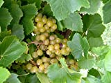 Blanc Du Bois Wine Grape Vine - Plantable Year-Round! Photo, bestseller 2018-2017 new, best price $4.50 review