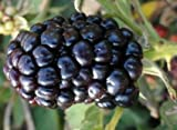 Wild Treasure Blackberry Fruit Bush Seed Pack Photo, bestseller 2018-2017 new, best price $2.99 review