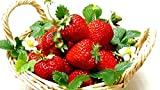 Everbearing Ozark Beauty Strawberry Plants 20 Bare Root Plants - TOP PRODUCER Photo, bestseller 2018-2017 new, best price $10.58 review