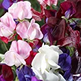 David's Garden Seeds Flower Sweet Pea Old Spice A1000G (Multi) 100 Open Pollinated Seeds Photo, bestseller 2018-2017 new, best price $8.49 review