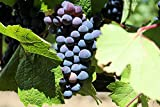 Baco Noir Wine Grape Vine - Plantable Year-Round Photo, bestseller 2017-2016 new, best price $4.50 review