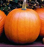 Jack O'Lantern Pumpkins Seeds - Heirloom and the Classic for Carving and Cooking Photo, bestseller 2017-2016 new, best price $7.99 review