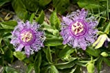 9GreenBox - Maypop Purple Passion Flower - 4'' Pot Photo, bestseller 2018-2017 new, best price $7.99 review