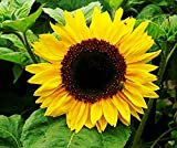 Golden Niger Sunflower Seeds - Small Black Seeds with High Oil Content - Great Food for Birds Photo, bestseller 2017-2016 new, best price $9.99 review