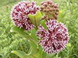 100 Pink Common Milkweed (Asclepias Syriaca) Flower Seeds Photo, bestseller 2018-2017 new, best price $5.88 review