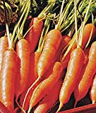 Carrots, Little Finger Carrot Seeds, Organic, NON-GMO, 100+ seeds per package,Little Finger carrots are a smaller version of traditional carrots and are a sweet and juicy addition to your backyard garden. Photo, bestseller 2017-2016 new, best price $2.38 review