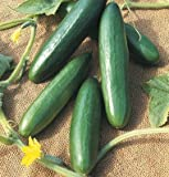 David's Garden Seeds Cucumber Slicing Diva D2198AA (Green) 50 Open Pollinated Seeds Photo, bestseller 2019-2018 new, best price $8.45 review