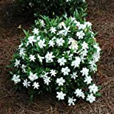 Brighter Blooms Dwarf Radicans Gardenia Live Potted Plant - Fragrant Flowering Dwarf Shrub with Citrus Scent Photo, bestseller 2018-2017 new, best price $59.99 review