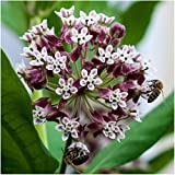Package of 100 Seeds, Common Milkweed (Asclepias syriaca) Open Pollinated Seeds by Seed Needs USA Photo, bestseller 2017-2016 new, best price $3.65 review